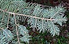 Carousel thumb sidebar whitespruce needles