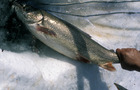 Carousel thumb sidebar lake trout
