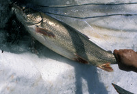 Thumb lake trout