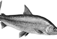 Thumb whitefish